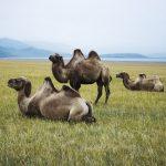 Kamele in der Mongolei - Reisen Mongolei - Reisebericht