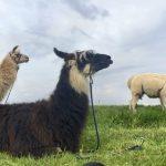 Eine Lama Trekking Tour ist echte Tiefenentspannung (garantiert ohne Spuckgefahr!)