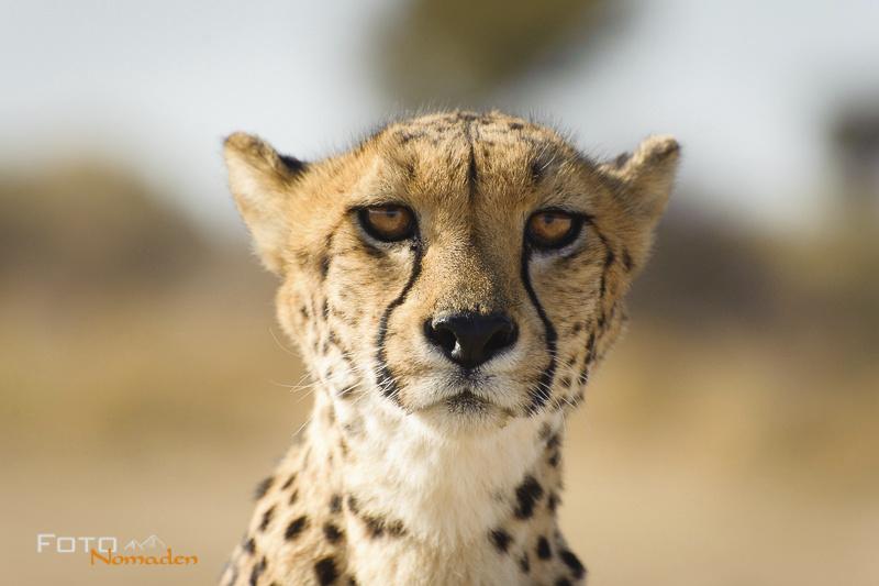 Auf Augenhöhe mit Geparden in Namibia
